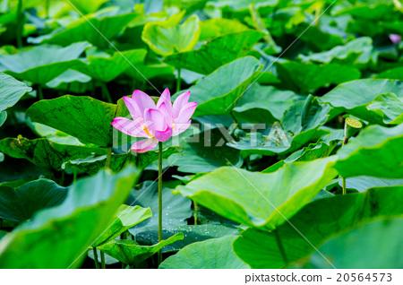 台灣台南白河蓮花Asia Taiwan Lotus 20564573