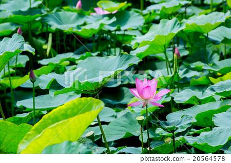 台灣台南白河蓮花Asia Taiwan Lotus 20564578