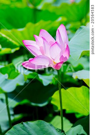 台灣台南白河蓮花Asia Taiwan Lotus 20564583