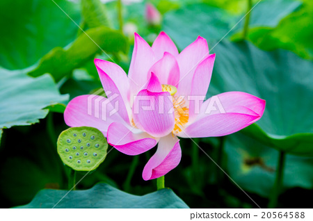 台灣台南白河蓮花Asia Taiwan Lotus 20564588