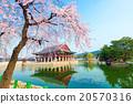 Gyeongbokgung Palace with cherry blossom in Korea. 20570316