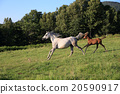 equine, horse, meadow 20590917