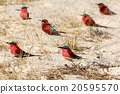 large nesting colony of Nothern Carmine Bee-eater 20595570