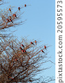 large nesting colony of Nothern Carmine Bee-eater 20595573