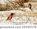 large nesting colony of Nothern Carmine Bee-eater 20595576