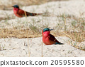large nesting colony of Nothern Carmine Bee-eater 20595580