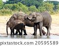 Elephants drinking at waterhole 20595589