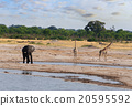 Elephants and giraffes drinking at waterhole 20595592