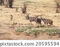 kudu Antelope in hwankee 20595594