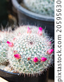 Pink flowers on cactus 20595630