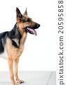 สุนัข, Shepard, สุนัขตำรวจ, การฝึกอบรม, ระเบียบวินัย, สุนัข, ตำรวจ, สุนัขเฝ้ายาม 20595858