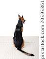 สุนัข, Shepard, สุนัขตำรวจ, การฝึกอบรม, ระเบียบวินัย, สุนัข, ตำรวจ, สุนัขเฝ้ายาม 20595861