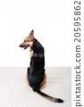 สุนัข, Shepard, สุนัขตำรวจ, การฝึกอบรม, ระเบียบวินัย, สุนัข, ตำรวจ, สุนัขเฝ้ายาม 20595862