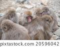Group of japanese snow monkeys cold feeling    20596042