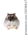 young dzungarian hamster 20596617