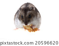 young dzungarian hamster and walnut 20596620
