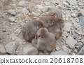 Japanese snow monkeys in cold feeling 20618708
