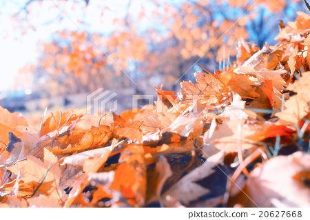 background texture of yellow leaves autumn leaf background 20627668