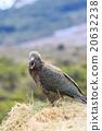 kea birds new zealand 20632238