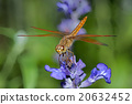 Dragonfly on blue flower 20632452