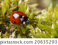 Macro red ladybug on a fluffy moss 20635293