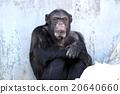動物 黑猩猩 猴 20640660