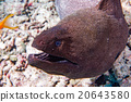 Eel mooray portrait in maldives 20643580