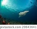 魟鱼 蓝色 背景 20643641