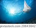 魟鱼 蓝色 背景 20643642