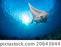 Manta in the blue background 20643644