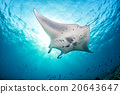 Manta in the blue background 20643647