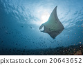 Manta in the blue background 20643652