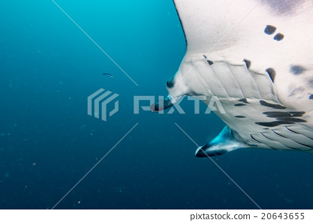 Manta in the blue background 20643655