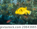 yellow Puffer fish diving indonesia 20643665