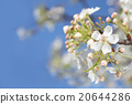Pure white bean pear flowers in full bloom in the blue sky 20644286