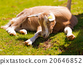 Mountain Baby Goat on Green Grass 20646852
