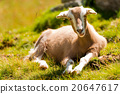 Mountain Baby Goat on Green Grass 20647617