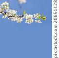 Apple tree blossom branch. blue sky background 20651128
