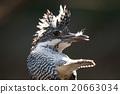 動物 冠魚狗 野鳥 20663034