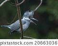 動物 冠魚狗 野鳥 20663036