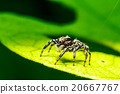 Spider on green leaf 20667767