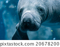 manatee close up portrait looking at you 20678200