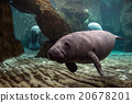 newborn baby manatee close up portrait 20678201
