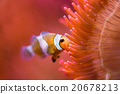 Clown fish inside red anemone 20678213