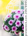 Bouquet made of  Chrysanthemum 20678995