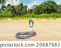 king cobra in the wild nature 20687661