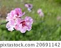 hana peach, rose, peach 20691142