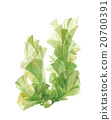 sea lettuce, aquarelle, water color 20700391