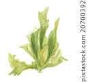 sea lettuce, aquarelle, water color 20700392