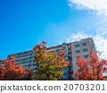 光葉櫸 楓樹 紅楓 20703201
